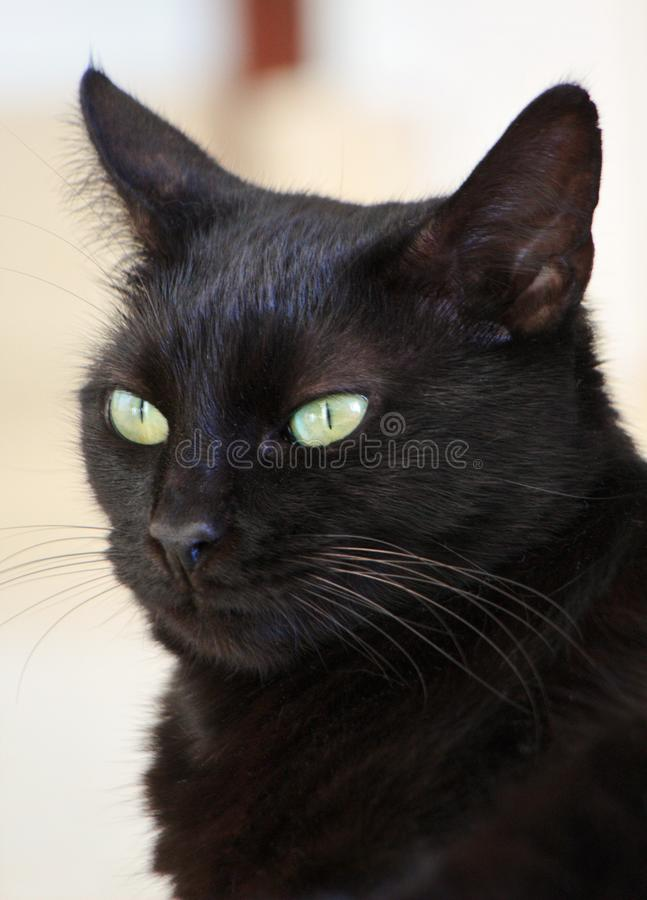 Domestic black cat. A closeup of the face of a domestic black cat royalty free stock photography