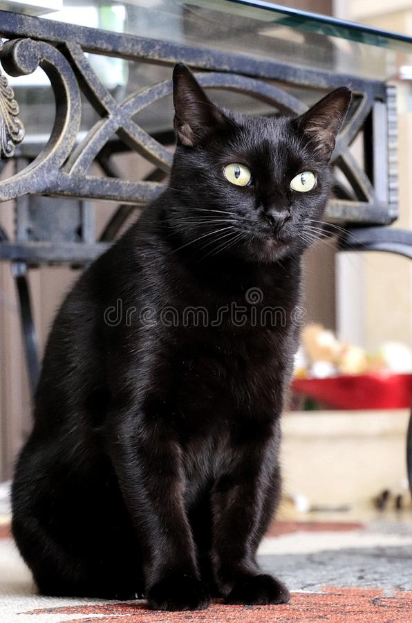 Domestic black cat. Sitting down indoors royalty free stock image