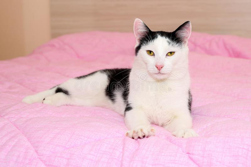 Domestic black and white cat with beautiful yellow eyes and pink nose kneading on a pink blanket. European shorthair mixed breed stock photo