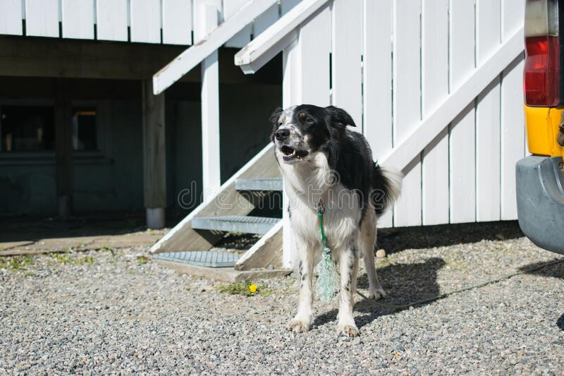 Domestic black and white dog standing in front of its kennel stock photography