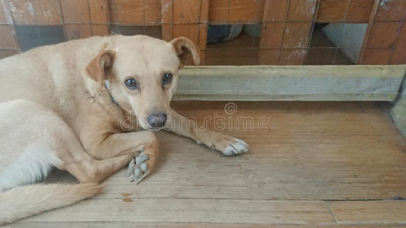 Domestic Blonde Sitting Dog. Domestic Sitting Dog. Posing for the camera stock photos