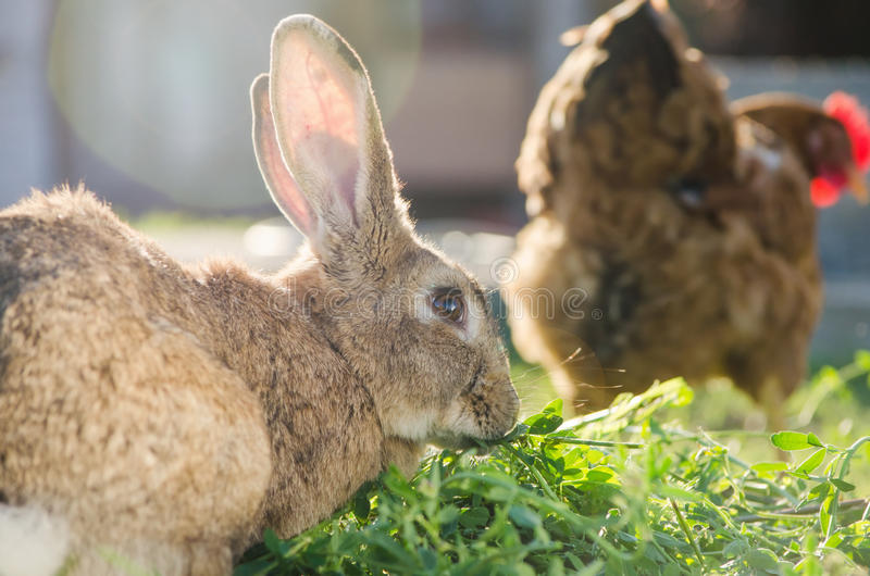 Domestic brown rabbit eating grass behind a hen stock images