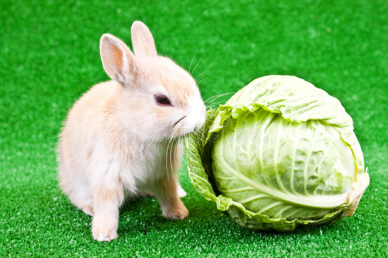 Download Domestic bunny and cabbage stock photo. Image of feed - 13499468