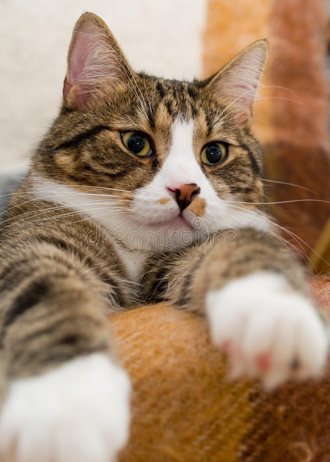 Domestic Cat. A cute domestic cat lying on a chair stock photos