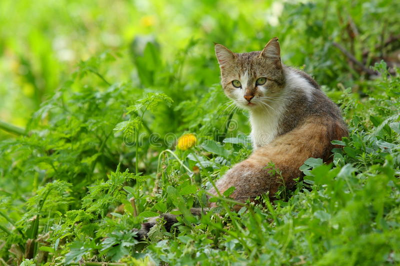 Domestic cat. Portrait of domestic cat standing in grass stock images