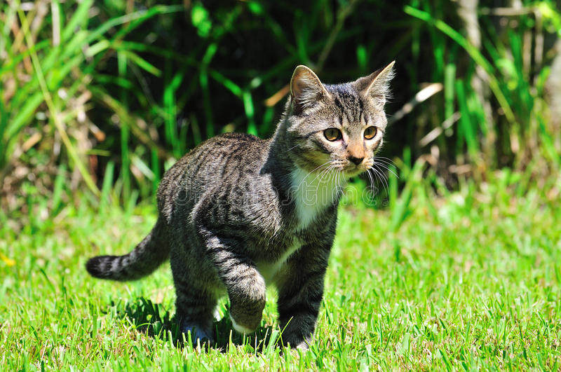 Domestic Cat. A young cat in hunting mode with eyes fixed on his prey royalty free stock images