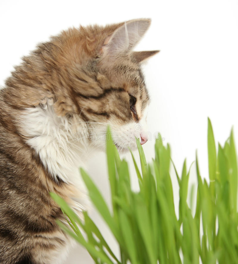 Domestic cat. In the grass on white background royalty free stock images