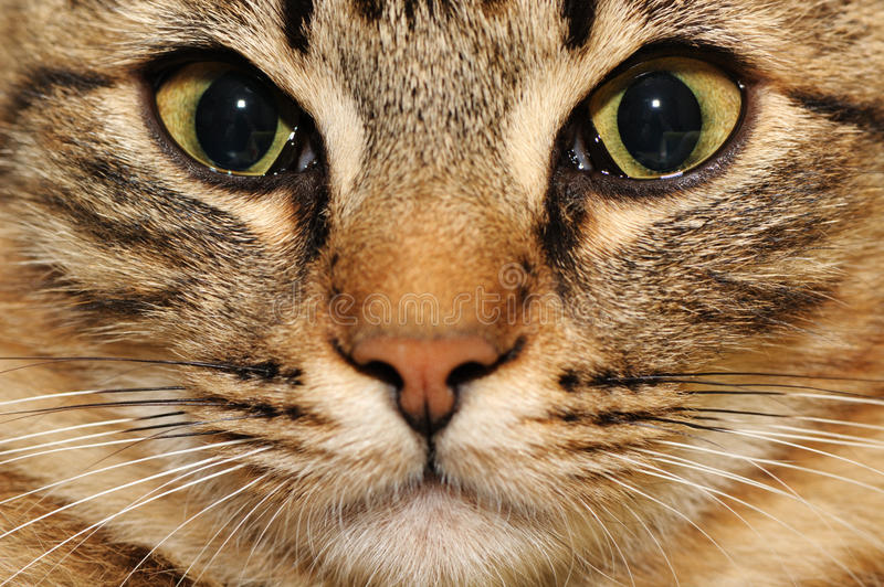 Domestic cat. Beautiful domestic cat close up royalty free stock image