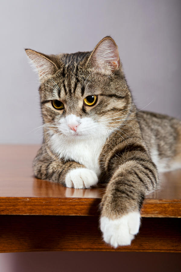 Download Domestic Cat stock image. Image of portrait, home, cute - 24183809