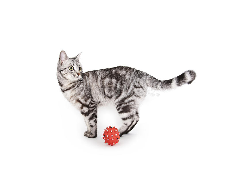 Download Domestic cat stock photo. Image of domestic, ball, cute - 27698250