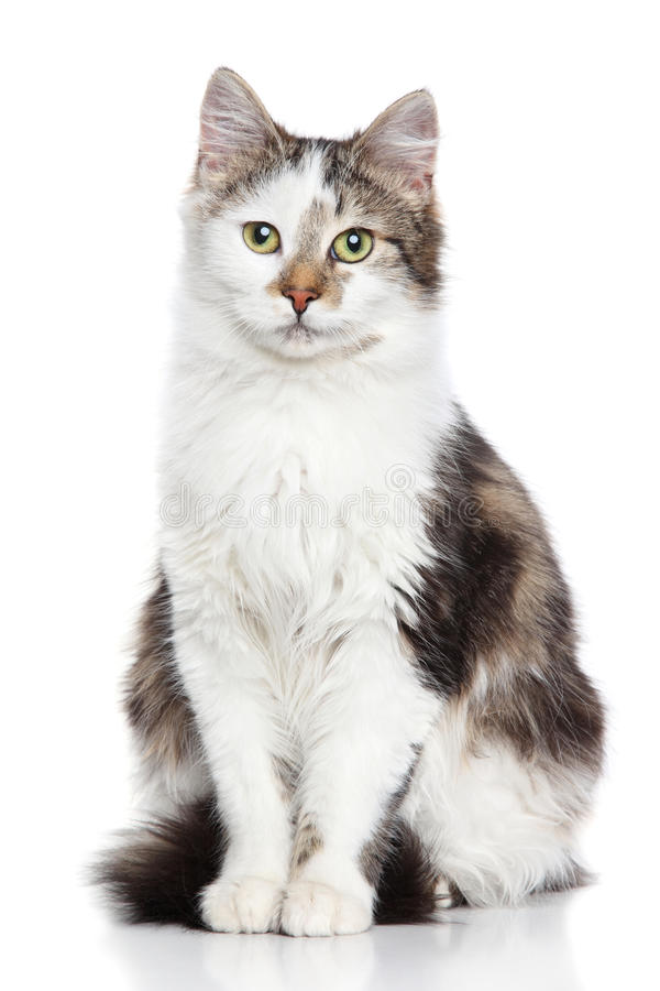 Domestic cat. On a white background stock images