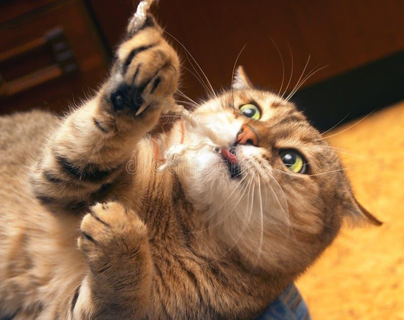Domestic cat. Portrait of a domestic cat stock image