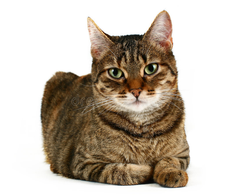 Domestic cat. Laying against a white background royalty free stock photography