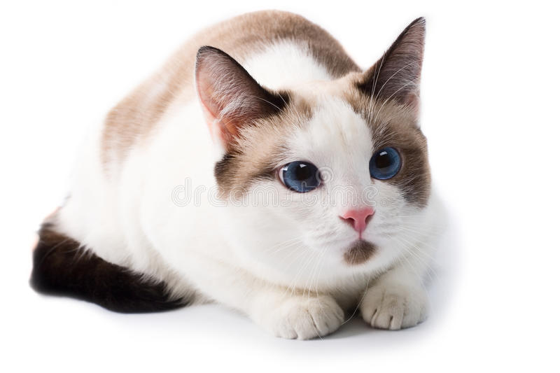 Domestic cat. Blue eyed domestic cat. white background stock photography