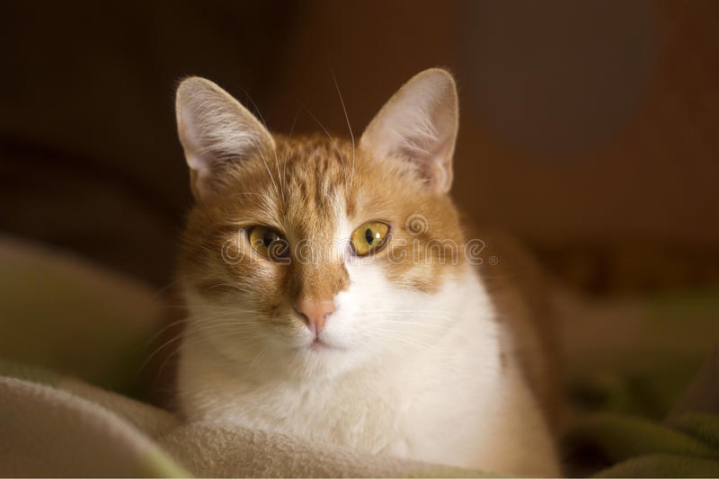 Domestic cat with an attentive expression, cat face. Domestic ginger cat with an attentive expression royalty free stock photo