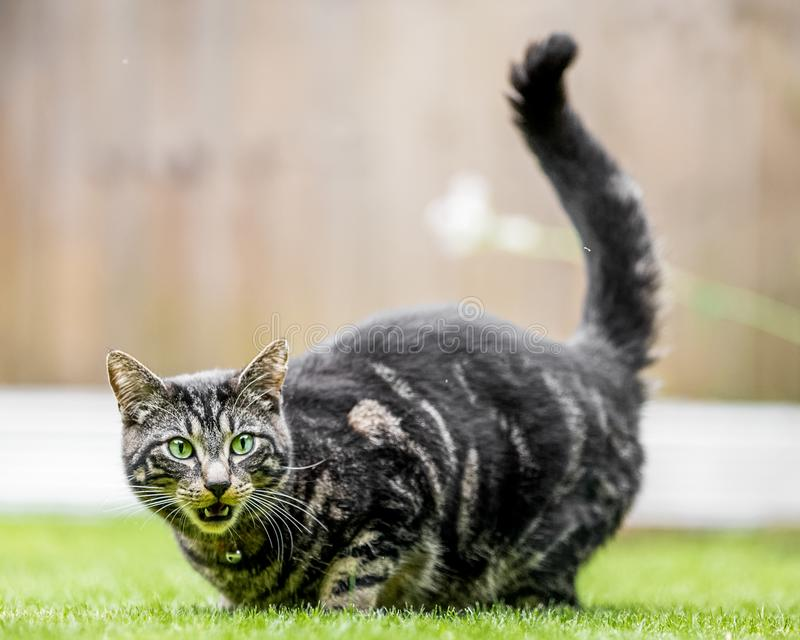 A domestic cat baring its teeth on the grass. A domestic cat with green eyes lying on a manicured lawn baring its teeth at something to the side of the camera stock photos