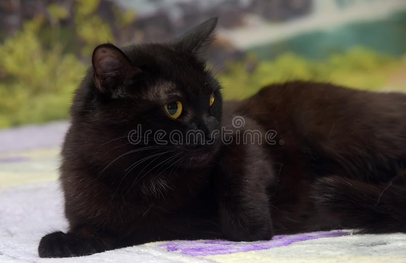 Domestic cat on the bed. Black domestic cat on the bed royalty free stock photo