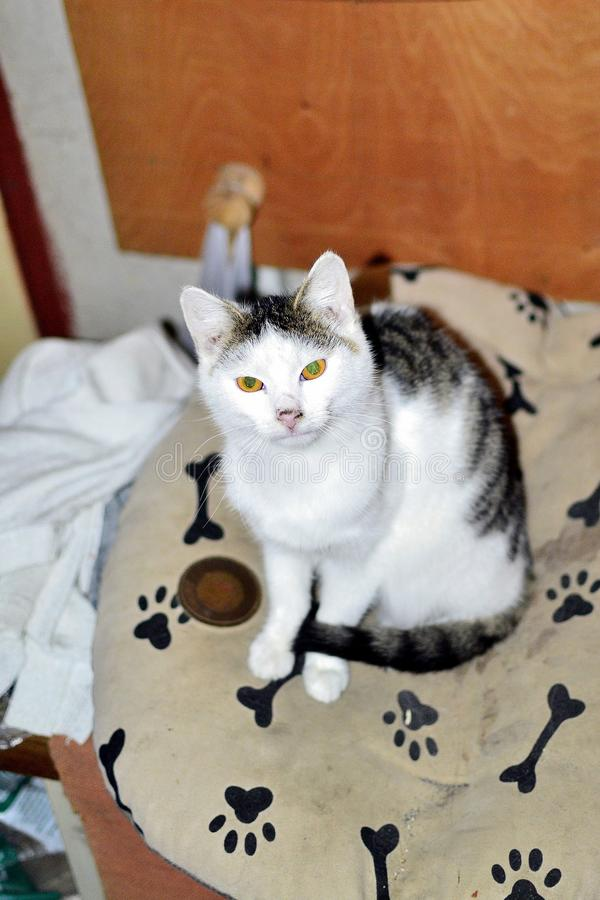 Domestic cat on the bed. Domestic cat sitting on a bed, white tabby kitten stock images