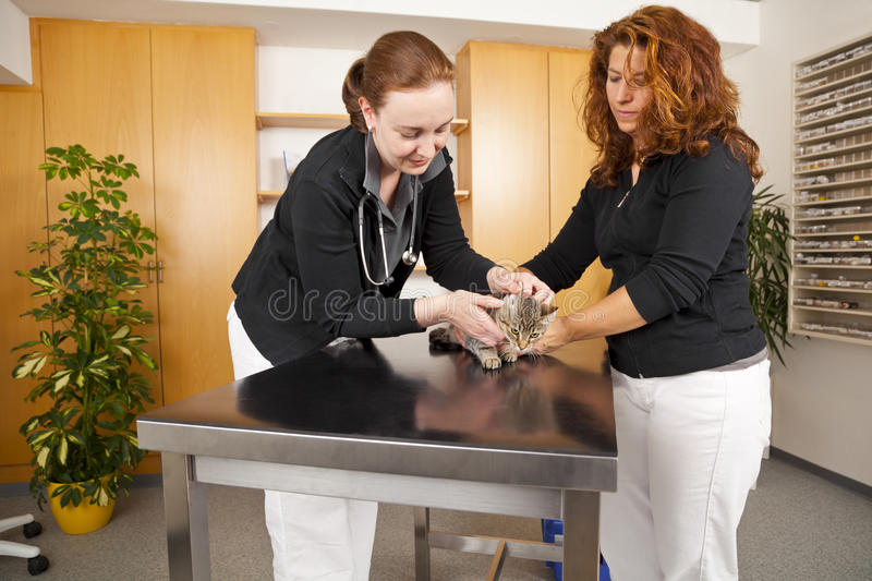 Domestic cat being examined at veterinarian. The ear of a domestic cat being examined at a veterinarian royalty free stock photo