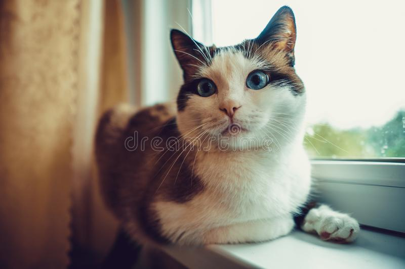 Domestic cat with blue eyes stock photography
