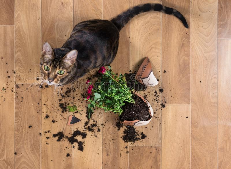 Domestic cat breed toyger dropped and broke flower pot with red royalty free stock photos