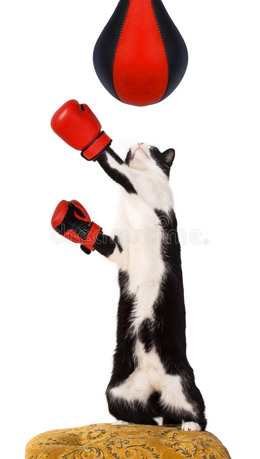 Domestic cat. On a chair wearing boxing gloves royalty free stock photos