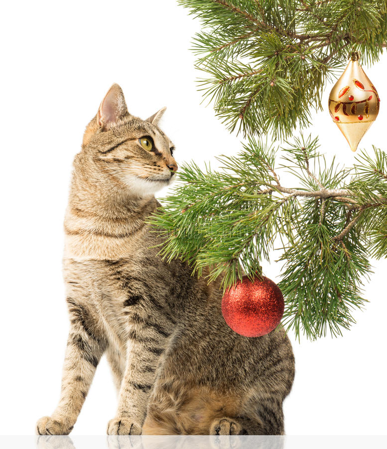 Domestic cat and Christmas tree. Domestic cat sitting next to a Christmas tree on a white background royalty free stock image