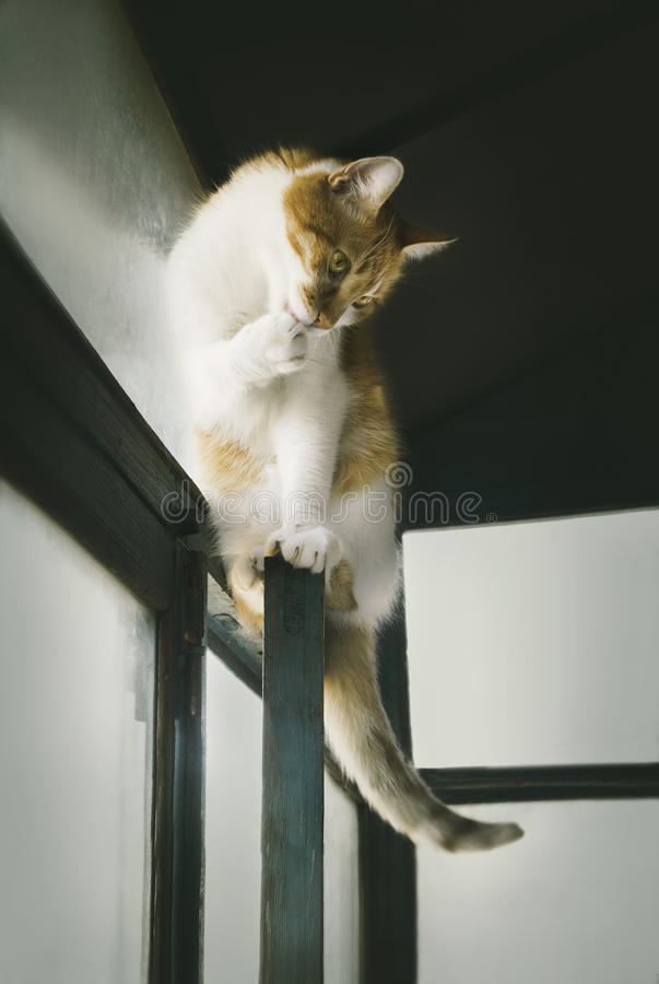 Domestic cat cleverly sitting on window frame, cats lifestyle. Domestic ginger cat cleverly sitting on the window frame and washing paw, cats life, selective royalty free stock photos