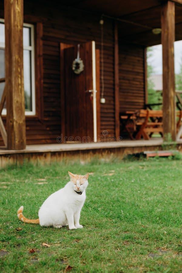 Domestic cat collar outside garden lawn house. Domestic cat with a collar outside in the garden lawn near the house stock photos