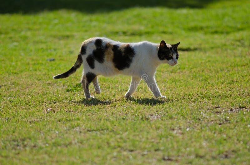 Domestic cat. Domestic cat Felis catus. San Sebastian de La Gomera. La Gomera. Canary Islands. Spain stock photos