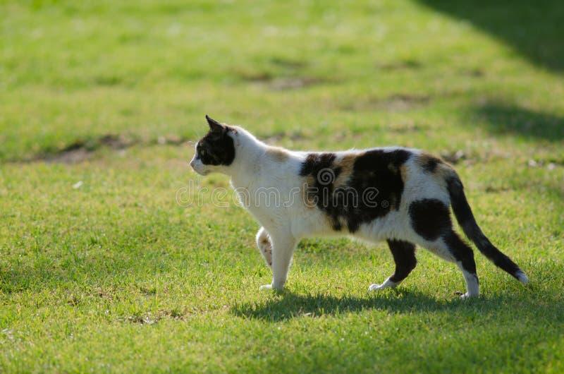 Domestic cat. Domestic cat Felis catus. San Sebastian de La Gomera. La Gomera. Canary Islands. Spain stock photo