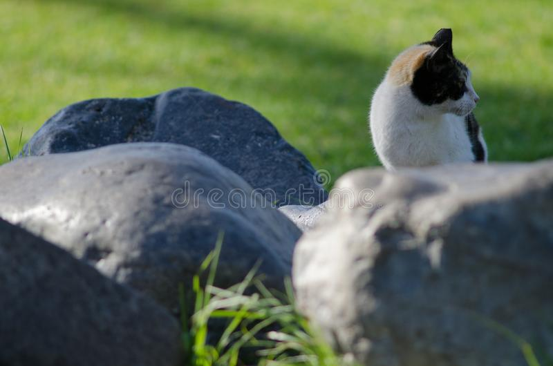 Domestic cat. Domestic cat Felis catus. San Sebastian de La Gomera. La Gomera. Canary Islands. Spain stock photography