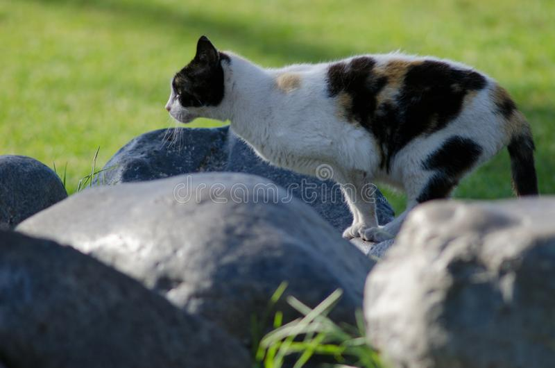 Domestic cat. Domestic cat Felis catus. San Sebastian de La Gomera. La Gomera. Canary Islands. Spain royalty free stock photos