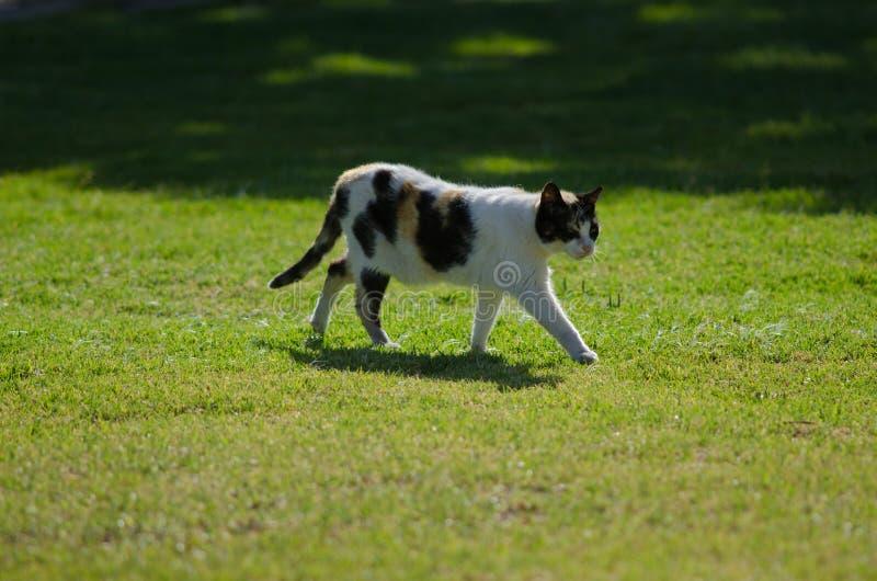 Domestic cat. Domestic cat Felis catus. San Sebastian de La Gomera. La Gomera. Canary Islands. Spain royalty free stock photo