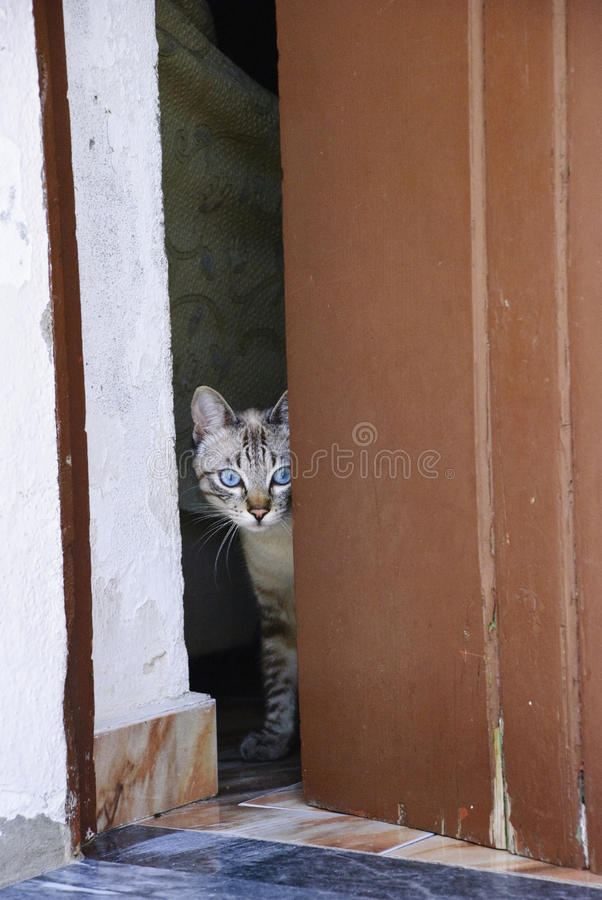 Domestic cat at the dor. Domestic cat with blue eyes at the door stock image