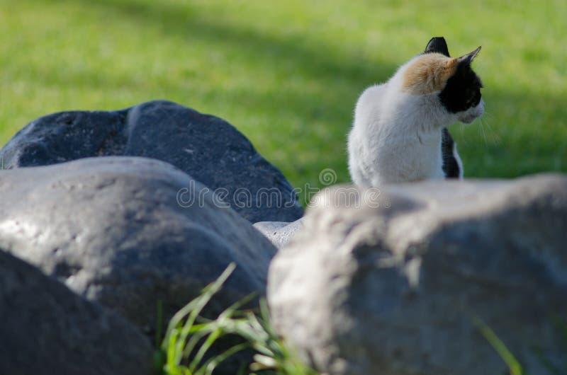 Domestic cat. Domestic cat Felis catus. San Sebastian de La Gomera. La Gomera. Canary Islands. Spain royalty free stock image