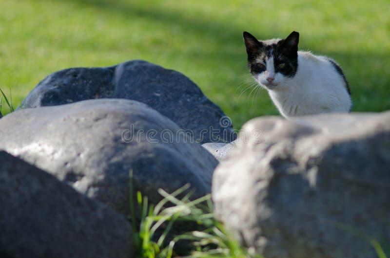 Domestic cat. Domestic cat Felis catus. San Sebastian de La Gomera. La Gomera island. Canary Islands. Spain stock photo