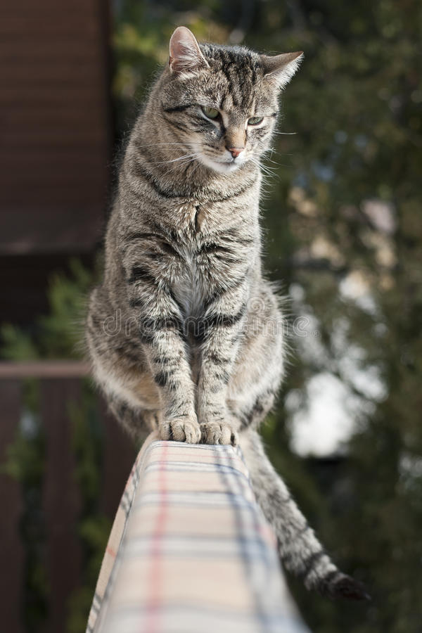 Domestic cat. Felis silvestris catus - housecat - Domestic cat stock photos