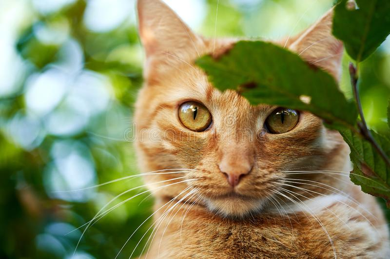 A domestic cat in the garden. Close up f a red domestic cat in the garden stock images