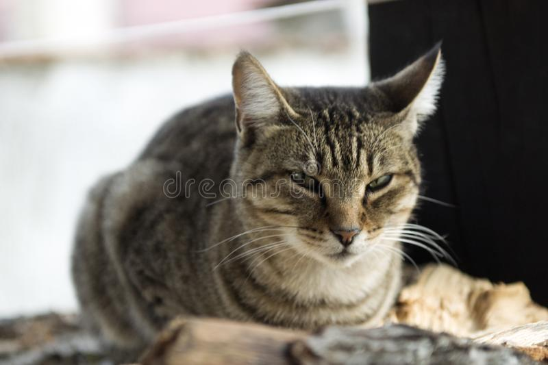 Domestic Cat guarding the Porch. Beautiful gray domestic cat is resting on the pile of wood. She is enjoying the last few sunny days in this year stock photography