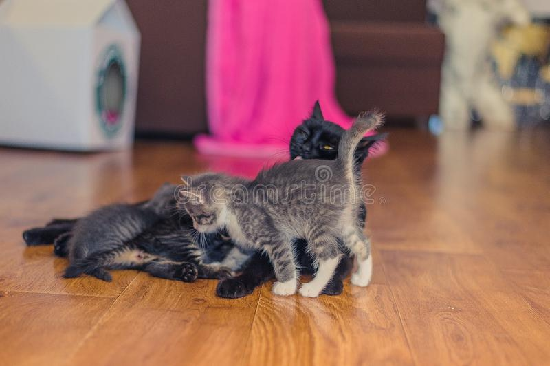Black cat with kittens on a wooden floor in the room. Domestic cat and kittens on the floor of the room royalty free stock photo