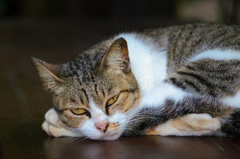 Domestic cat. Lazy domestic cat close up image royalty free stock photo