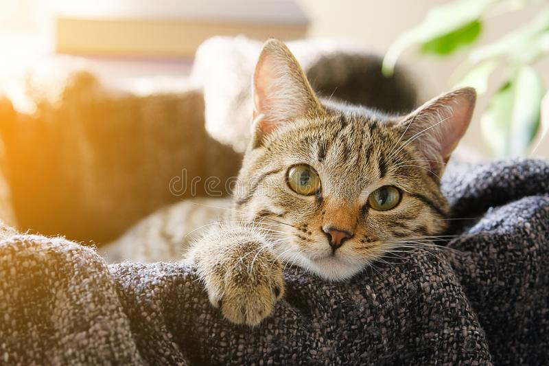 Domestic Cat Lies in a Basket with a Knitted Blanket, Looking At the Camera. Tinted Photo.  royalty free stock photography