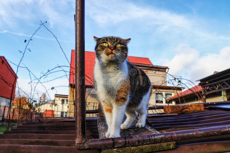 A domestic cat is looking into the big world. A colorful kitten standing on roof and watching sky royalty free stock photography