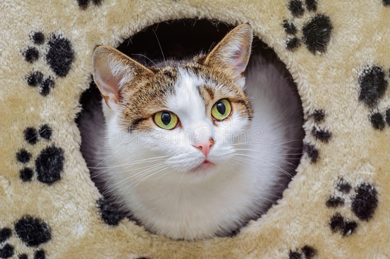 The Domestic Cat. Looking out of its House stock image