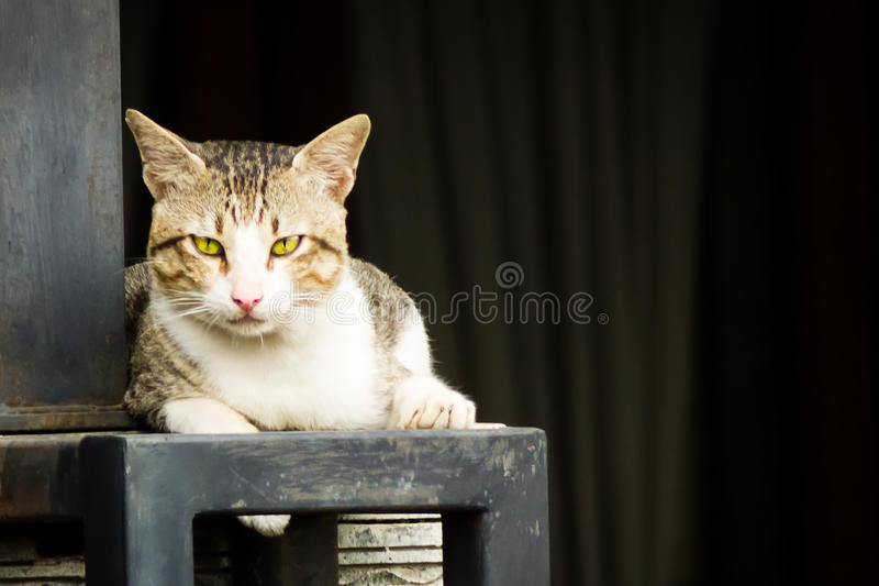 Domestic Cat Lying Down. Wild domestic cat take a rest by lying down on the concrete fence. The cat has yellow eyes and black and gray stripes pattern on its royalty free stock photos