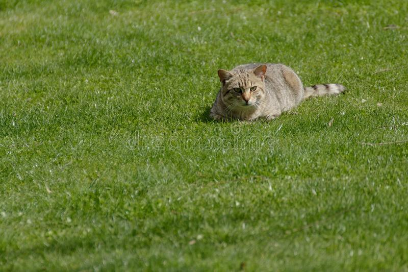 The domestic cat. Lying on the grass royalty free stock images