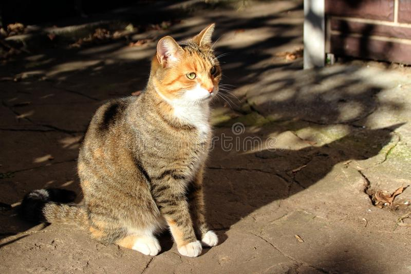 Domestic cat. Photo of domestic cat outside the house royalty free stock image