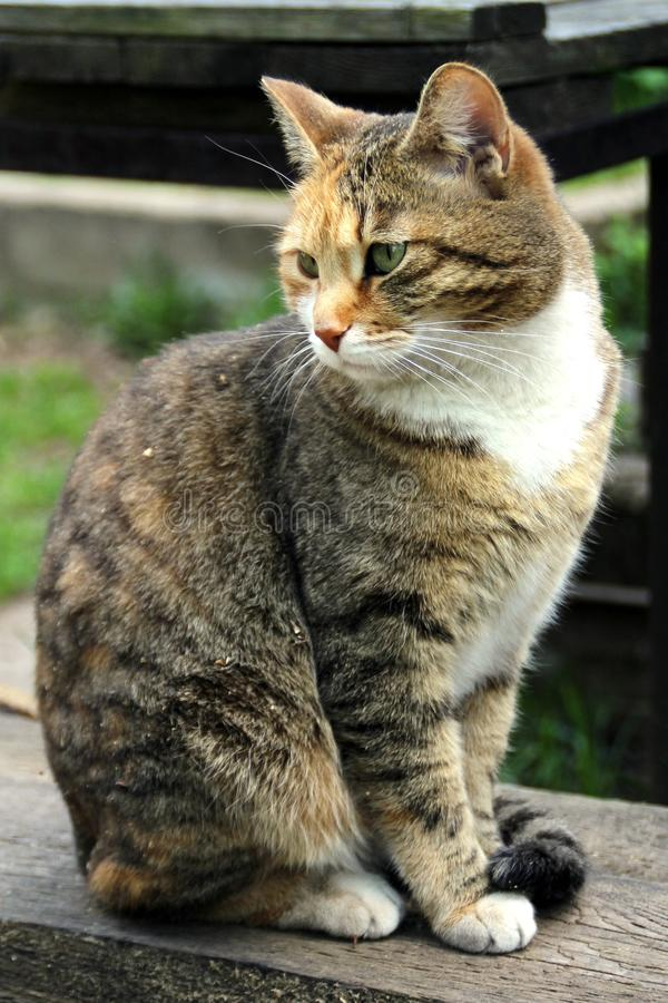 Domestic cat. Photo of domestic cat outside the house stock photography