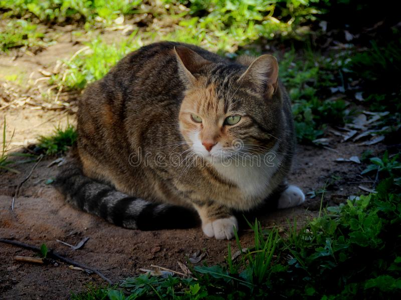 Domestic cat. Photo of domestic cat outside the house royalty free stock photo